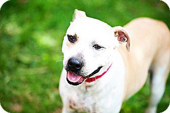 American Pit Bull Terrier Mix Dog for adoption in Houston, Texas - Duke