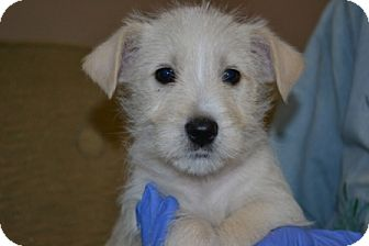 Westie, West Highland White Terrier/Wirehaired Fox Terrier Mix Puppy for adoption in Mt Sterling, Kentucky - Wags - Adoption Pending