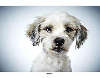 Shih Tzu Mix Dog for adoption in New York, New York - Giuseppe