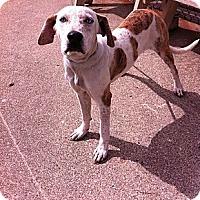 Adopt A Pet :: Greta - Peru, IN