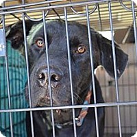 Adopt A Pet :: Shadow - Worcester, MA
