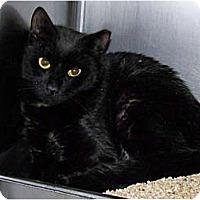 Adopt A Pet :: Tippy (Barn Cat) - Kensington, MD