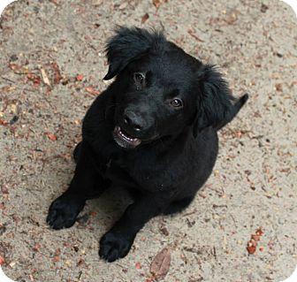Labrador Retriever Mix Puppy for adoption in Sagaponack, New York - Ellie