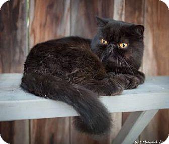 Exotic Cat for adoption in Davis, California - Fredo