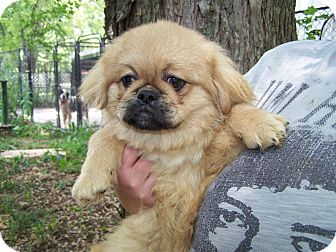 Pekingese Puppy for adoption in Antioch, Illinois - Pekingese Puppy