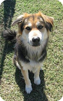 Golden Retriever/German Shepherd Dog Mix Dog for adoption in Memphis, Tennessee - BRADLEY