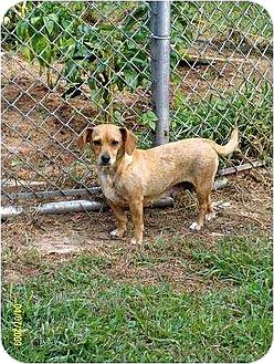 Chihuahua/Dachshund Mix Dog for adoption in Oswego, New York - Annie