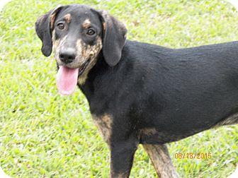 Plott Hound/Labrador Retriever Mix Dog for adoption in Boston, Massachusetts - Lee