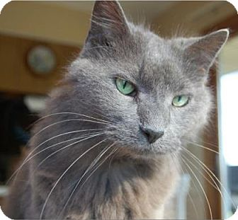 Domestic Mediumhair Cat for adoption in Des Moines, Iowa - Wolfie