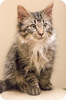 Domestic Longhair Kitten for adoption in Chicago, Illinois - Bo Jingles