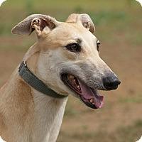 Adopt A Pet :: Rhinestone - Portland, OR