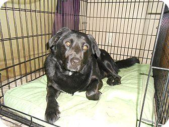 Labrador Retriever/Collie Mix Dog for adoption in North Jackson, Ohio - Django