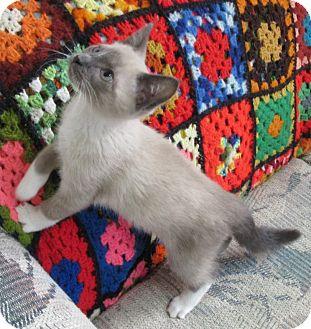 Siamese Kitten for adoption in Glenwood, Minnesota - Feisty