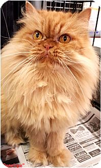 Persian Cat for adoption in Key Largo, Florida - Penelope