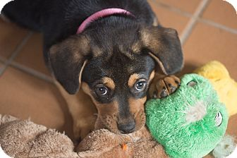Rottweiler Mix Puppy for adoption in Grand Canyon Village, Arizona - Truffle