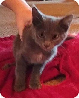 Domestic Shorthair Kitten for adoption in Evans, West Virginia - Izzy