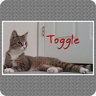 Domestic Shorthair Cat for adoption in Cedar Springs, Michigan - Toggle