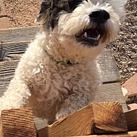 Adopt A Pet :: Mr. Kringle - Apache Junction, AZ
