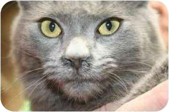 Domestic Shorthair Cat for adoption in tucson, Arizona - Pickles