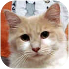 Domestic Longhair Cat for adoption in Milledgeville, Georgia - Polly