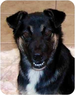 German Shepherd Dog Mix Puppy for adoption in El Segundo, California - Snickers