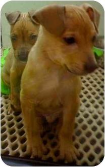 Shar Pei/Pit Bull Terrier Mix Puppy for adoption in Tarzana, California - Harry