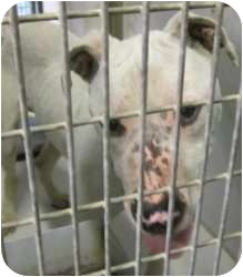American Pit Bull Terrier Mix Dog for adoption in Kansas City, Missouri - Schnapps