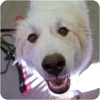 Great Pyrenees Mix Puppy for adoption in Berkeley, California - Jackson