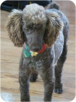 Poodle (Miniature) Dog for adoption in Van Nuys, California - Charlie