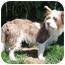 Photo 3 - Westie, West Highland White Terrier/Tibetan Terrier Mix Dog for adoption in Berkeley, California - Coco