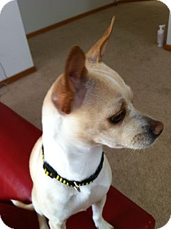 Whippet/Chihuahua Mix Dog for adoption in Bellingham, Washington - Sally