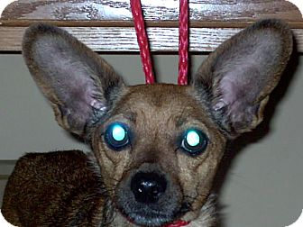 Miniature Pinscher/Chihuahua Mix Dog for adoption in Chesterfield, Michigan - Bambi 2013 (M)