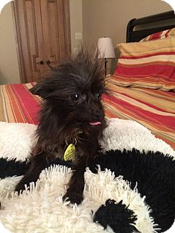 Chihuahua/Yorkie, Yorkshire Terrier Mix Dog for adoption in Astoria, New York - Mickey