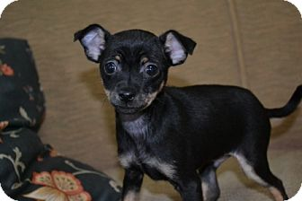Chihuahua Puppy for adoption in Mt Sterling, Kentucky - Jackson  - Adoption Pending