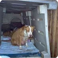 American Staffordshire Terrier/American Pit Bull Terrier Mix Dog for adoption in Los Angeles, California - RAINY--URGENT