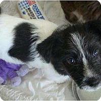 Adopt A Pet :: Ridge - Phoenix, AZ