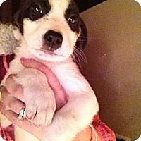 Adopt A Pet :: Patches - Alamosa, CO