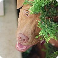 Adopt A Pet :: Elka - Newport, KY