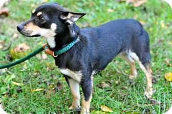 Manchester Terrier Mix Dog for adoption in Salem, New Hampshire - MOMMA MOON