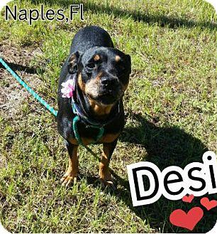 Rottweiler Dog for adoption in New Smyrna Beach, Florida - Desi