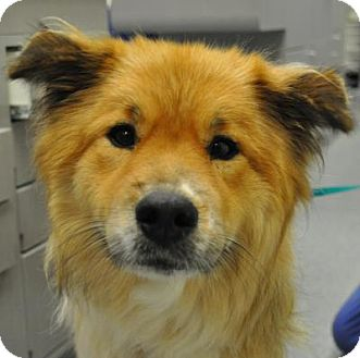 Collie/Golden Retriever Mix Dog for adoption in Atlanta, Georgia - Lassie