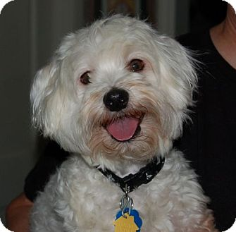 Maltese/Toy Poodle Mix Dog for adoption in West Harrison, New York - Edison (TN)