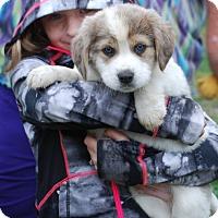 Adopt A Pet :: Olaff- blue eyed baby - Providence, RI