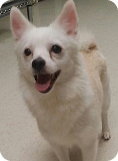 Pomeranian/Chihuahua Mix Dog for adoption in Cannelton, Indiana - Zoey