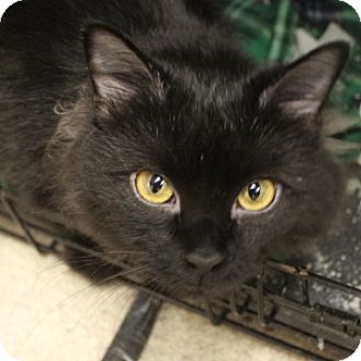 Domestic Mediumhair Cat for adoption in Naperville, Illinois - Fruit Loop
