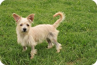 Terrier (Unknown Type, Small) Mix Puppy for adoption in Foster, Rhode Island - Buttercup