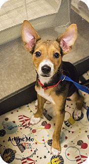 Rat Terrier Mix Puppy for adoption in Charlotte, North Carolina - P. Diddy