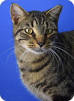 Domestic Shorthair Cat for adoption in Carencro, Louisiana - JoJo
