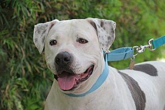 Labrador Retriever/American Bulldog Mix Dog for adoption in Santa Monica, California - Shadow (Lover Boy!)