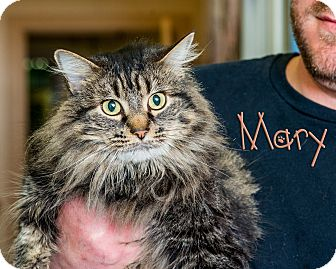 Domestic Longhair Cat for adoption in Somerset, Pennsylvania - Mary